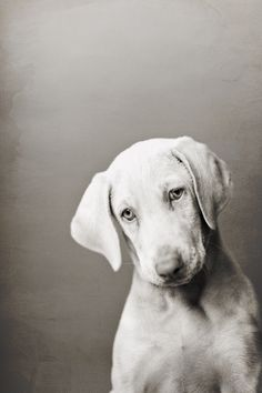 """Weimaraner #dog The one absolutely unselfish friend that man can have in this selfish world, the one that never deserts him, the one that never proves ungrateful or treacherous, is his dog.""""      -George Graham"""