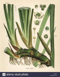 Sweet flag or cinnamon sedge, Acorus calamus. Chromolithograph after a botanical illustration from Hermann Adolph Koehler's Medicinal Plants, edited by Gustav Pabst, Koehler, Germany, 1887. Stock Photo