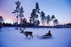 Reindeer sled, Lapponia (Lapland), Finland.........Reindeer safari or sleigh rides in Finland`s snowy wilderness........