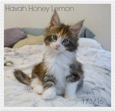 Cat Farm, Honey Lemon, Cats, Animals, Gatos, Animales, Animaux, Animal, Cat