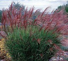 Cut Back Ornamental Grass
