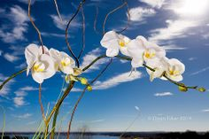 White Orchids Over the Lake