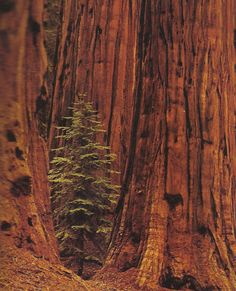 sacred earth...I cannot wait to take Ellie to see the Redwoods!
