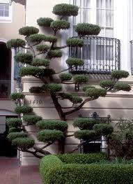 Cloud-pruned juniper