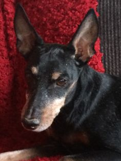 Andi, toy manchester terrier at 16 years old.
