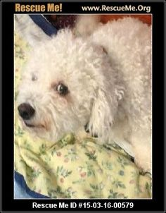 Emmy (female)  Bichon Frise    Age: Adult  Compatibility:	 Good w/ Most Dogs, Good w/ Most Cats, Good w/ Kids and Adults  Personality:	 Average Energy, Average Temperament  Health:	 Spayed, Vaccinations Current       Female Bichon Frise Born 12-3-2006 Bristle Ridge Kennel Litter # GHUL07-2348 ID# 3934. I need to find a new home for Emmy and her brother Oscar because I need to downsize my house and my yard. Oscar and Emmy have never been apart and I need someone who is willing to take them…