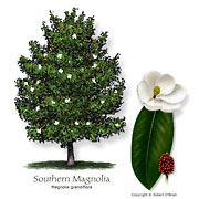 Magnolia, Southern Common Name: Southern Magnolia Magnolia grandiflora Tree Size: Large Leaf Type: Evergreen Comments: Plant in well drained soil and let limbs grow to the ground. Some cultivars tolerate alkalinity. art design landspacing to plant Garden Trees, Lawn And Garden, Indoor Garden, Trees To Plant, Garden Plants, Tree Planting, Texas Landscaping, Landscaping Ideas, Magnolia Trees