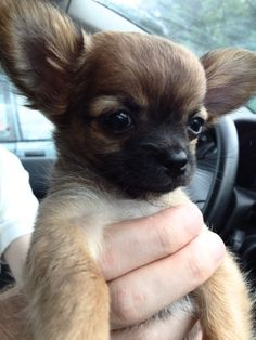 Chihuahua Harybo en voiture