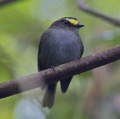 4270. Golden-browed Chat-tyrant (Ochthoeca pulchella) | the Yungas of Peru and Bolivia