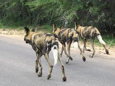 Kruger National Park South Africa - African wild do on the hunt African Hunting Dog, African Wild Dog, Hunting Dogs, Kruger National Park, National Parks, Game Reserve, Wild Dogs, Hyena, African Animals