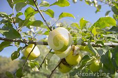 Green apple on a tree in a sunny day