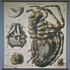 "Circa 1880s-1910 Paul Pfurtscheller ""Araneina Epeira"" Araneus Spider"