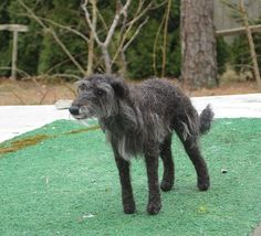 NEEDLE FELTED DOG~SCOTTISH DEERHOUND~in Memory of Finn~Custom Sculptures by GOURMET FELTED