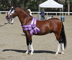 Imported Section B Welsh Pony stallion *Mynach Master Class