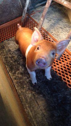 Our cute Duroc pigs!