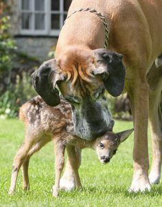 Rocky the Great Dane and His Doe, Cindy