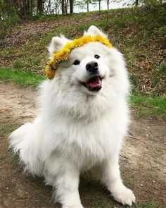 Excellent Beautiful dogs detail are available on our web pages. look at this and you wont be sorry you did. Happy Animals, Animals And Pets, Funny Animals, Cute Dogs And Puppies, Baby Dogs, Doggies, Beautiful Dogs, Animals Beautiful, Samoyed Dogs