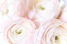 Pink Ranunculus  by White Nova Studio on @creativemarket