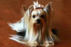 Yorkie Colors. Types of Yorkshire Terrier Coats. - Yorkie.Life