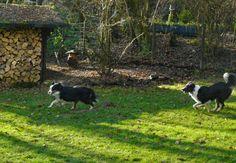 Hunde-Urlaub, Hundepension, Australian Shepherd, American Shepherd