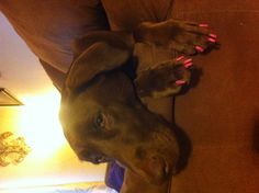 """My lab """"Daisy"""" with painted nails!!!  Such a pretty girl!"""