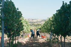 Working the land, Val delle Rose vineyard by @Cucina Digitale #cecchiharvest #vendemmia #wine