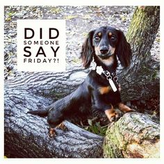 "Dachshund Quotes & Pictures (@mydachshundfamily) on Instagram: ""Yes it's here  .  @minidachshundsiri"""