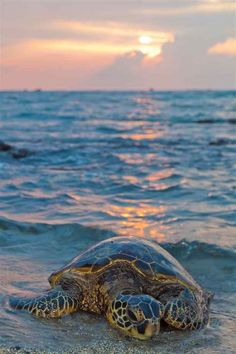 Sea turtle on the beach. I like this composition because of the distant sun's reflections on the ocean leading to the turtle. Sea Turtle Pictures, Animals Beautiful, Cute Animals, Cute Turtles, Sea Turtles, Baby Turtles, Fauna Marina, Tortoise Turtle, Turtle Love