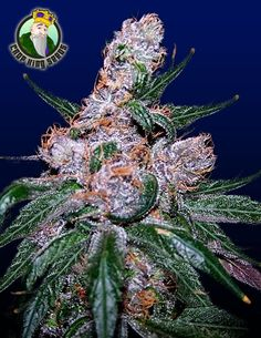 Blueberry is a well known classic and former winner of the Cannabis Cup. This indica is known for its colorful fan leaves and purplish bud that produce a fruity flavor and taste. This is an excellent strain for pain relief and relaxation. theCTU.com