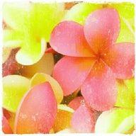 Plumeria flowers from paradise.