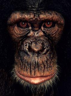 Chimpanzee !