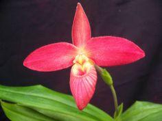 Orchid species Phragmipedium Icho Tower (bessea Hybrid)