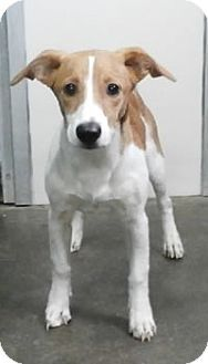 Avon, NY - Jack Russell Terrier Mix. Meet Adele a Dog for Adoption.