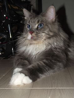 Maine Coon  cats   Aida age 4