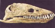 Plesiosaur Skull  replica