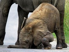 Oops: Despite being supported by his mother, the clumsy young elephant finds it nigh-on impossible to stay on his feet walking on concrete