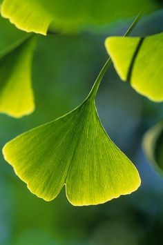 "GINGKO TREE LEAF"" - The ginkgo is a living fossil, recognisably similar to fossils dating back 270 million years. The overwhelming research results credit Gingko with the proven ability to positively influence certain medical conditions. Leave In, Tree Leaves, Plant Leaves, Tree Tree, Ginko Tree, Ginkgo, Gingko Leaf, Flora, Living Fossil"