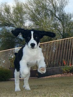 Their tops are made out of rubber, Their bottoms are made out of springs, They're bouncy, trouncy, flouncy, pouncy, fun, fun, fun, fun, fun! English springer spaniel puppy - Lexie at 14 weeks