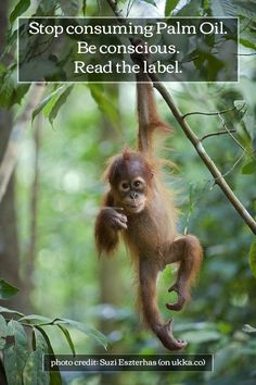 STOP using Palm oil. Love the Orangutan. Palm Oil. Stop.