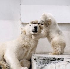 Bear Photos, Bear Pictures, Cute Animal Pictures, Cute Baby Animals, Animals And Pets, Funny Animals, Baby Polar Bears, Baby Zoo, Wild Creatures