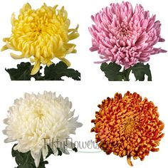 Football Mums Farm Mix Colors - these are the actual flowers I'm using Flowers For You, Types Of Flowers, Fall Flowers, Colorful Flowers, Wildflower Bridal Bouquets, Wedding Bouquets, Wedding Flowers, Wedding Centerpieces, Wedding Decor