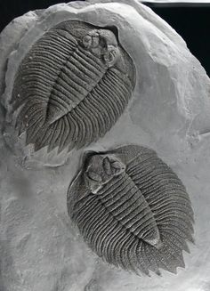 Arctinurus boltoni. My very, very favorite trilobite!