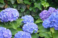 📷 FREE IMAGE: Close up of purple hydrangea blooming outdoors Free Photos, Free Images, Hydrangea Landscaping, Hydrangea Bloom, Lilac, Purple, Public Domain, Close Up, Serenity