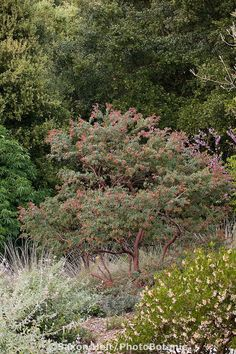 Arctostaphylos pajaroensis, manzanita shrub in drought tolerant California native plant garden
