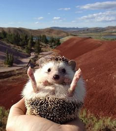 The only thing your Thursday needs is this adorable traveling hedgehog