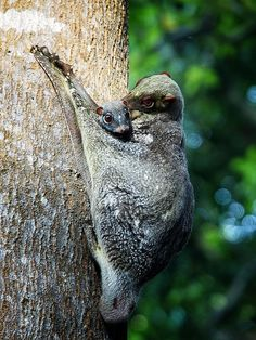 Colugo with baby ('flying lemur') by Robertus Jozef on Flickr.
