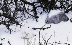 Kar Tavuğu