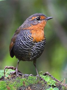 The Chucao Tapaculo (Scelorchilus rubecula) is a species of bird in the Rhinocryptidae family. It is found in Argentina and Chile, including Magallanes. The diet of the Chucao Tapaculo is dominated by invertebrates and fruits.