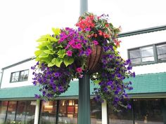 Hanging basket of sweet potato vine, supertunias, dragonwing begonias.  Saw these beauties in Woodstock,Vt.