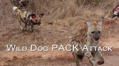 Wild Dog PACK Attack | CAUGHT IN THE ACT